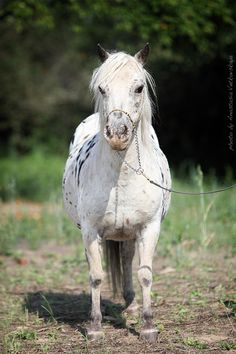 Appaloosa Pony mare Ravenna