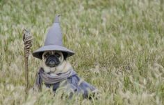 Lord of the Pugs. | 26 Costumes That Prove Pugs Always Win At Halloween