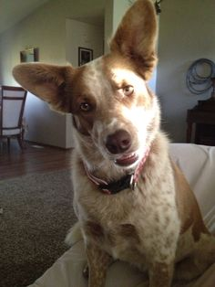 Gracie is a red border collie-healer with that typical healer smile....