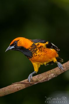 Icterus pectoralis: only on the Pacific side of CntAm: an introduced breeding population exists on the Atlantic coast of S FL. The population is considered to be established enough to be 'count-able' for bird watchers by the ABA
