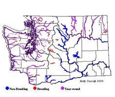 Bald Eagle habitat, behavior, diet, migration patterns, conservation status, and nesting.