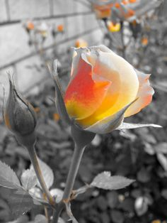 Black and White Photos with Color Photoshop | Color Accent Rose – Powershot S3 IS