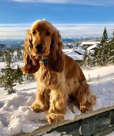 "Fantastic ""cocker spaniel dog"" information is readily available on our web pages. Read more and you wont be sorry you did. Perro Cocker Spaniel, Show Cocker Spaniel, English Cocker Spaniel Breeders, Cocker Dog, Cute Puppies, Cute Dogs, Dogs And Puppies, Doggies, Dog Breeds Little"