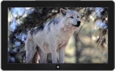 Gray wolf in wildlife sanctuary 11