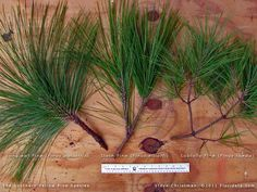 Photos and profile of the tree commonly called  slash pine,  from the  Floridata Plant Encyclopedia.