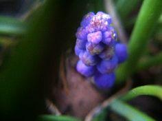 Macro of some indigio flowers