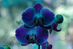 Orquidea azul 3