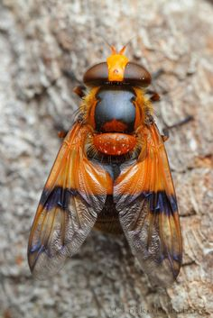 Colorful hoverfly