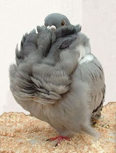 This breed of fancy pigeon called the Chinese Owl is named for its resemblance to an owl. This pigeon is known for its relatively small size and profuse frilled feathers. Photo by photographers Jackie Brooks & Jim Gifford. Text & image via bukisa Animals And Pets, Baby Animals, Funny Animals, Cute Animals, Pigeon Pictures, Bird Pictures, Pretty Birds, Beautiful Birds, Beautiful Pictures
