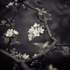 Blossom Print Flowers Black and White Photography Apple Orchard Trees Fine Art Photography Nature  Wall Art - Unravelling
