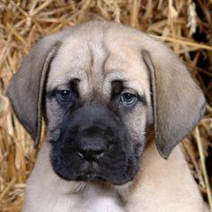 American mastiff puppies illinois
