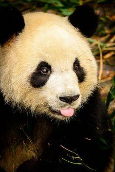Oletko nähnyt WERAn johtajien pukeutuneen saman tyylisesti panda-asuihin? Isopandoihin liittyvää jotain todella spesiaalia ja historiallista tapahtuu aivan pian.. ja asialla tietenkin WERA!  #panda #cute