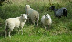 Shetland ewe with her Charolais Beltex cross triplets