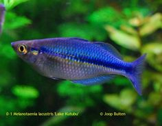 Melanotaenia lacustris Lake Kutubu Tetra Fish, Discus Fish, Tropical Freshwater Fish, Freshwater Aquarium Fish, Tropical Aquarium, Tropical Fish, Community Fish Tank, Fishing World, Rainbow Fish