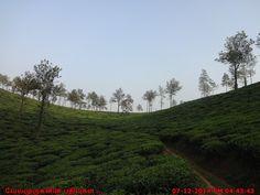 Tea garden from the Meppadi region of Wayanad