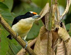 Orange-Fronted Barbet, Capito squamatus, Ecuador & extreme SW Colombia