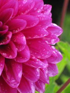 Dewy Hot Pink Dahlia
