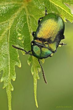 Green Dock Beetle #heritagecollection might have to use this for the next paint job!