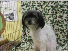 This DOG - ID#A1529318  I am an unaltered female, white and black #Maltese.  The shelter thinks I am about 2 years and 0 months old. I weigh approximately 13 pounds.  I have been at the shelter since Jan 07, 2015.   East Valley Animal Shelter 14409 Vanowen Street Van Nuys, CA 91405 https://www.facebook.com/Eastvalleyshelter/photos/a.663165087135106.1073741829.661844553933826/715302588588022/?type=3&theater