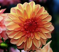 Dahlia Galore In Color - Available in canvas print, framed print, art print, acrylic print, metal print, greeting card, iPhone case and Galaxy case