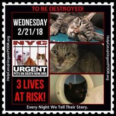 TO BE DESTROYED 02/21/18http://nyccats.urgentpodr.org/tbd-cats-page/