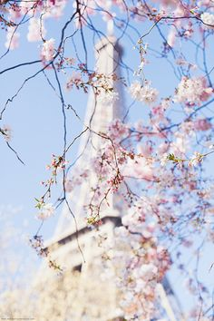 First Cherry Blossoms in Paris