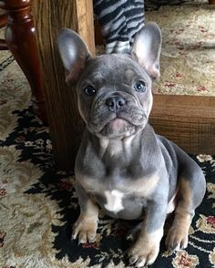 Blue brindle frenchies