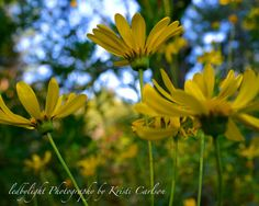 Yellow Daisies 8x10 Print by LedByLight on Etsy