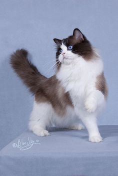 http://www.marlcreekcattery.com Gorgeous! Seal Point Bicolor Ragdoll.