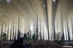"""Pobierz zdjęcie royalty free  """"Misty spruce forest in the morning. Misty morning with strong colorful sun beams in a spruce forest in Germany near Bad Berleburg. Spiderwebs in the grass. High contrast and backlit scene."""" autorstwa Sabine Hortebusch w najniższej cenie na Fotolia.com. Przeglądaj naszą bazę tanich obrazów online i odnajdź doskonałe zdjęcie stockowe do Twoich projektów reklamowych!"""