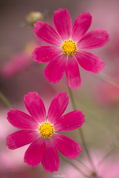 COSMOS MACROPHOTOGRAPHY FLOWERS