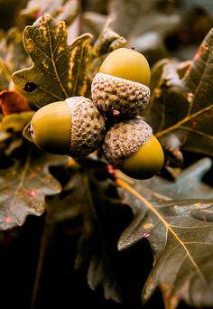 Autumn's Acorns