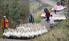 Flocks of geese march outside a goose farm in Markerup near Flensburg, northern Germany. Four thousand geese will be slaughtered in this farm before St. Martin's day Nov. 11. Roast goose is a traditional dish in Germany on St. Martin's day.