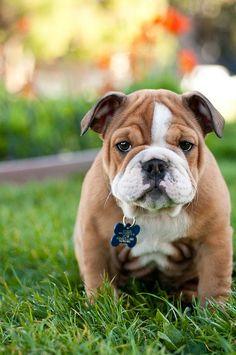 I will get a bulldog when i am older and have my own home, sooooo cute!