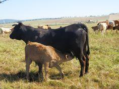 Lazos maternales en ganaderia autoctona