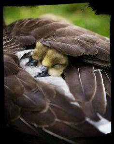 """""""Ele te cobrirá com as suas penas, e debaixo das suas asas te confiarás..."""" Salmo 91:4a"""