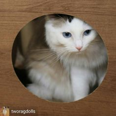 @Regrann from @tworagdolls -  Don't I look pretty here?  (Olive in her @catfurnature den)  #littleolive #tworagdolls #sweetheart #dailycute #ragdollsofinstagram #cats_of_instagram #catsofinstagram #kitty #peekaboo #kittybeans #cute #pawsome #highwhite - #regrann