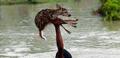 Un faon était sur le point de se noyer dans une crue déchaînée. Ce que ce jeune…
