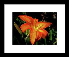 lily, orange, flower, nature, bloom, blossom, michiale schneider photography