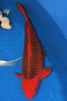 Most expensive koi fish champion of the breeder for Expensive koi for sale