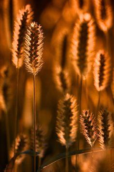 Colore del grano