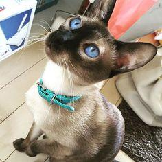 _ 🐈my baby💓 _ #blueeyes#siamese#cat#ねこすたぐらむ #gugu#ネコ#ねこまるせんせー#愛猫#love #ずっと一緒に居てね#loveyou#mybaby