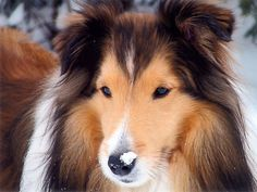 Shetland Sheepdog: Extrem schlauer Hirtenhund, der auch als Rettungshund und Therapiehund eingesetzt wird — Bild: Shutterstock / Angie Chauvin    www.einfachtierisch.de