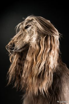 Afghan Hund by Luigi Panico on Luigi, Dog Lover Gifts, Dog Lovers, Scruffy Dogs, Most Beautiful Dogs, Afghan Hound, Large Dog Breeds, Shetland Sheepdog, Pet Life