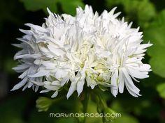 Pelargonie - Pelargonium Vectis Snow