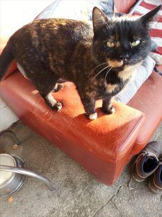 Katze auf dem Bauernhof Skateboard, Cats, Animals, Maine Coon Cats, Skateboarding, Gatos, Animales, Animaux, Skate Board