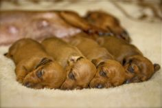 baby doxies all in a row. No words to describe the sheer cuteness of these precious babies.