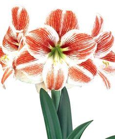 Amaryllis Razzle Dazzle - Christmas Flowering Single Amaryllis - Amaryllis - Fall 2014 Flower Bulbs