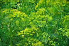 Kapor (Anethum Graveolens L.) gondozása, szaporítása Flower Garden, Edible Plants, Herbs, Plants, Garden, Flowers