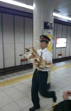地下鉄駅構内にて柴犬捕獲 迷い込んで来たのかな? Japan